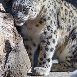 Snow leopard near the wood thumbnail