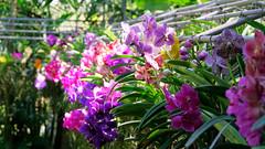 2019-02-11_12-26-12_ILCE-6500_DSC02664_DxO (miguel.discart) Tags: 103mm 2019 best bestof chiangmai createdbydxo dxo e18135mmf3556oss editedphoto fleurs flowers focallength103mm focallengthin35mmformat103mm holiday ilce6500 iso320 meilleur sony sonyilce6500 sonyilce6500e18135mmf3556oss thailand thailande travel vacances voyage