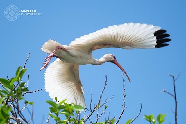 White Ibis takes Flight