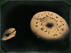 Mushrooms -16173 (Poetic Medium) Tags: blender mushrooms ipod nature kitcamghostbird altphoto