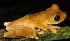 Boana rosenbergi (Birdernaturalist) Tags: amphibian anura costarica frog herp richhoyer