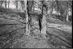Pair of Trees. (probusphotos) Tags: bnwphotography fotografia filmisnotdead voigtlander 35mm cherokeepark voigtlanderbessa filmismorefun ifttt instagram
