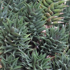 Chicago, Garfield Park Conservatory, Desert Room, Succulent Plants (Mary Warren 13.1+ Million Views) Tags: chicago garfieldparkconservatory nature flora plants green leaves foliage succulent