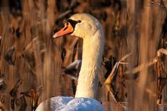 IMG_7217 (Artur Surgał) Tags: polska krainabugu nadbużańskiparkkrajobrazowy łabędź kiełpiniec ptaki przyroda canon sigma swan wildlife birds cygnus nature