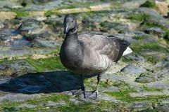 DSC_2283_Edit (Clive Webber) Tags: anatidae anseriformes anserinae belgium bird brantabernicla brentgoose ijzermonding nieuwpoort places westvlaanderen