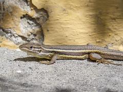 LAGARTIJA (BLAMANTI) Tags: lagartija lagarto lagartos reptiles saurio canon canonpowershotsx60 blamanti