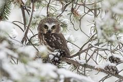 ''Enfin de la neige!''Petite nyctale-Northern saw-whet owl (pascaleforest) Tags: oiseau bird animal passion nikon nature wild wildilfe faune québec canada neige snow owl hibou