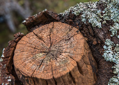 """Stumpy"" Man Made Decay (Ian Johnston LRPS) Tags: tree stumpy rot bark outdoors branch sawn lichen graft fruit dead"