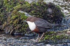 dipper (DODO 1959) Tags: wildlife dipper avian birds outdoor nature water songbird fauna wales craigynos countrypark omdem1mk2 olympus 300mmf4 micro43