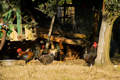 roosters (phacelias) Tags: roosters hanen galli grass gras erba