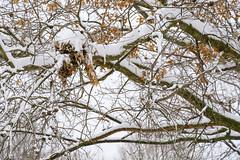 Home Abandoned (Modkuse) Tags: velvia fujivelvia fujifilmxt2velvia fujifilmxt2velviasimulation nopostprocessing winter snow nest squirrelnest nature natural tree cold art artphotography photoart fineartphotography fineart fujifilm fujifilmxt2 xt2 xf55200mmf3548rlmois fujinon fujinonxf55200mmf3548rlmois