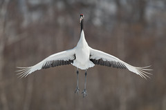 Happy Crane (BP Chua) Tags: bird nature wild wildlife animal nikon d850 600mm japan hokkaido kushiro fly flying jumping crane