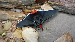 Passova passova (ID Lars Andersen) (kirstenmatthiesen) Tags: bolivia mariposa butterfly yungas caranavi