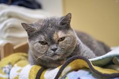 A9__DSC3133_C1 (Bazoka+Cynthia) Tags: oni cat 小婆 新北市 樹林區 貓