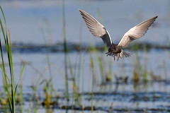 BlackTernFlight1 (Rich Mayer Photography) Tags: black tern terns animal animals avian nature wild life wildlife bird birds fly flying flight nikon
