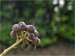Day 043 Spheres and hexagons (Dominic@Caterham) Tags: spheres berries bokeh tree winter