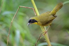 Olive-crowned Yellowthroat (Greg Lavaty Photography) Tags: olivecrownedyellowthroat geothlypissemiflava costarica january 2019 arenal alajuelaprovince lafortuna birdphotography outdoors bird nature wildlife