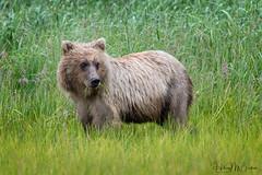 _HB33004 (Hilary Bralove) Tags: lakeclarknationalparkbrownbearsbearsalaskanikonwildlifegrizzlygrizzlybearbrownbearanimalswildlifephotographer alaksa brownbears grizzlybears bear bears grizzly brownbeargrizzly bearlake clarkwildlifealaska wildlifenikonlake clark national park