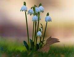 Blüten Glück (KaAuenwasser) Tags: frühlingsknotenblume märzenbecher märzbecher märzglöckchen wiese rasen blüten blüte pflanze blume zier zierblume makro blütenglück grün anlage park beet gepflanzt natur ilce7rm3 sony 2019 heute neu wetter sonne