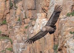 Griffon Vulture (tickspics ) Tags: monfragüenationalpark griffonvulture birds portilladeltiétar spain extremadura oldworldvultures europe accipitridae eurasiangriffon gypsfulvus parquenacionalmonfragüe