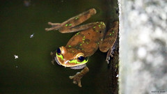 Masked Tree Frog (Martin Rann Photography) Tags: ecuador canon eosm3 amphibians treefrog wildlifephotography