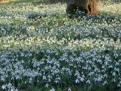 Buitenplaats Leyduin (Liekesfotos) Tags: natuur nature bos forest bloemen flowers sneeuwklokjes snowdrops nederland netherlands buitenplaats leyduin