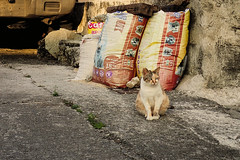 cat 92 (8pl) Tags: ivalino chat cat lanyu pose rue sacs chickenflavor regard animal bouffepourchiens