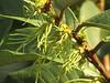 Drepananthus ridleyi (reuben.lim) Tags: annonaceae drepananthus ridleyi drepananthusridleyi cyathocalyx cyathocalyxridleyi antoi