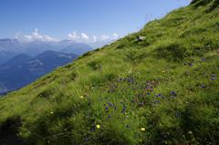 Les fleurs du mont Joly (Hugues Boulard) Tags: mont montagne joly alps alpes france flowers summer été mountains mountain fleurs contamines
