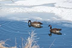 Canada Geese (AphidmanCalgary) Tags: calgary alberta canada ca goose bird