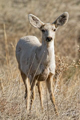 Leucistic Yearling Buck (dcstep) Tags: dsc3600dxo fe20xteleconverter leucistic yearling muledeer deer sonya9 fe400mmf28gmoss allrightsreserved copyright2019davidcstephens dx0photolab220