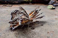 180727-048 L'effet papillon (2018 Trip) (clamato39) Tags: papillon butterfly animal wild nature cambodge cambodia asia asie voyage trip olympus