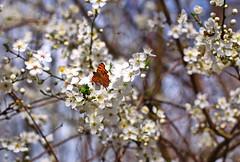 Schmetterling auf Weißdorn (olds.wolfram) Tags: weis weisdorn baum schmetterling blüten blüte tree