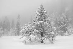 Snow and fog (Helena Normark) Tags: trees snowytrees snowandfog fog mist mood snow winter trondheim trøndelag sørtrøndelag norway norge sonyalpha7ii a7ii 35mm lensbaby burnside35 lensbabyburnside35 lensbabylove seeinanewway
