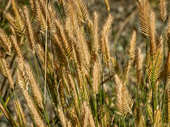 Grasses, Jasper National Park, Alberta (www.clineriverphotography.com) Tags: yeartaken foliage flora alberta jaspernationalpark 2011 grasses canada location