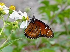 Soldier Butterfly (Danaus eresimus) (WRFred) Tags: florida nature wildlife butterfly loxahatcheenwr flower danauseresimus