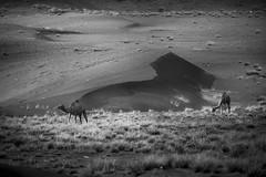 Desert Cruise-ship (|MBS-..|) Tags: nikon d700 sunset desert safari dune camel 200500mm f56 sand grass wild
