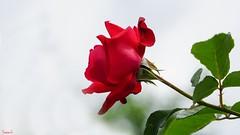 Red Rose - 6619 (ΨᗩSᗰIᘉᗴ HᗴᘉS +56 000 000 thx) Tags: rose red redrose flora fleur flower belgium europa aaa namuroise look photo friends be yasminehens interest eu fr party greatphotographers lanamuroise flickering sony