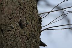Puukiipijä (TheSaOk) Tags: certhiafamiliaris bird birdlife linnut lintu puu tree trunk finland puukiipijä