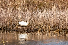 Walkabout_20190413-131246 (G-Mans Shadow) Tags: attleboro ma massachusetts como lake swan nesting eggs duck canadian geese marsh water tall grass mother father canon 77d ef70200 f4l