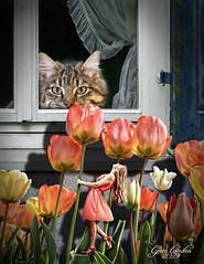 The Tulip Bed (pcgirl2005j) Tags: cat surreal tulip window