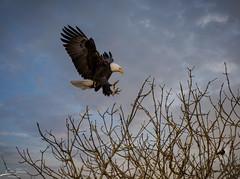 Attack Eagle (esimagecapture) Tags: eagle redwingedblackbird sky blue eat attack ridgefiled wildlife wildlifereserve washington nature naturereserve food circleoflife