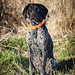 Gustav at 11 months (Feathernfur) Tags: week22019 startingtuesdayjanuary082019 52weeksthe2019edition gsp germanshorthairedpointer huntingdog birddog