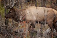 Elk (Samuel Raison) Tags: elk wapiti madison yellowstone yellowstonewildlife yellowstonenationalpark wildlife nature nikond3 nikon4600mmafsgvr