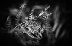 Shape moments (Pan.Ioan) Tags: plant leaves nature outdoors blackandwhite monochrome fragility closeup vulnerability autumn