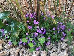 plante-violette® (alexandrarougeron) Tags: photo alexandra rougeron flickr fleurs nature plante végétal végétale ville beauté couleur frais