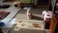 Norio Poses for Attention (sjrankin) Tags: 2february2019 edited animal cat norio sunlight sunshine sunbeam sun shadow floor livingroom mat warmingmat warmingdisc kitahiroshima hokkaido japan