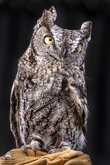 Big Eyes on a Little Bird (allentimothy1947) Tags: art birdrescuecenter california otherkeywords places santarosa screechowl sonomacounty beak beautiful birds claws damaged eyes feathers glove handler rescue small yellow western screech owl