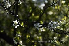 Blühtenpracht (tamaraart-photography) Tags: nikond750 nikon bündnerherrschaft graubünden bündnerland fläsch baum natur blühtenpracht blühten blühte