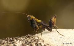 Preying Mantis (Ecuador Megadiverso) Tags: amazon andreaskay cordilleradelcóndor ecuador elquimi mantidae mantis mantodea rainforest tropic